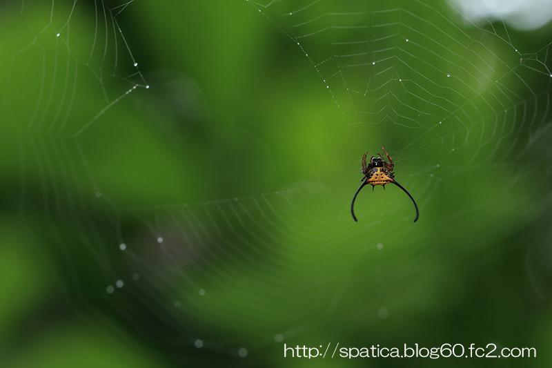 トゲグモの一種