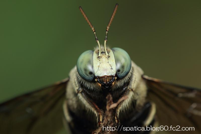 クマバチの一種