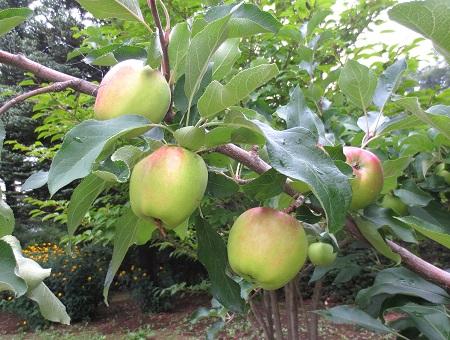 013ニュウートンのリンゴ