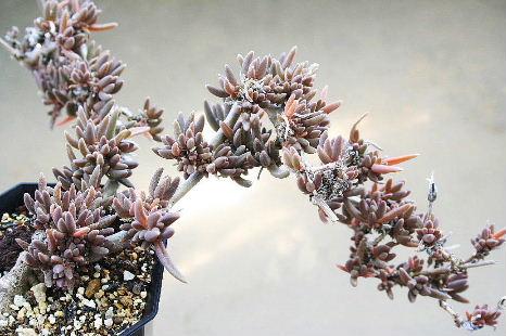 メセン盆栽