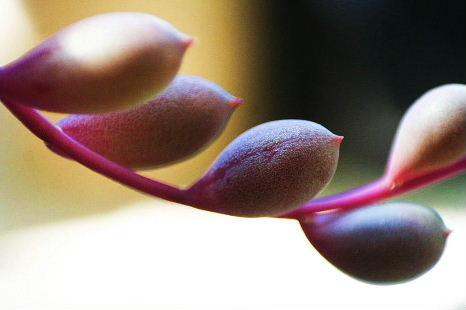 プラ鉢 ぶっ込み 寄せ植え ルビーネックレス