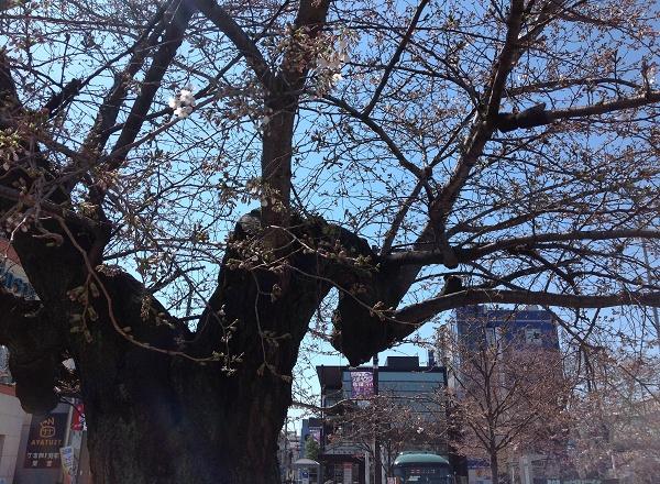 仙川駅の桜