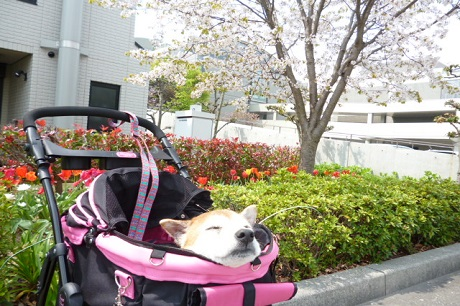 桜とチューリップ
