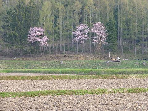 15 5/1 桜
