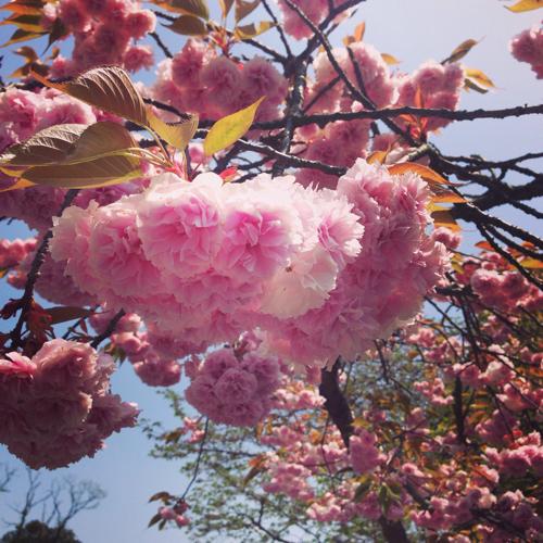 愛媛とべ動物園八重桜