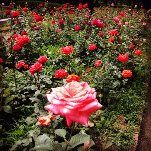 徳島中央公園 バラ園