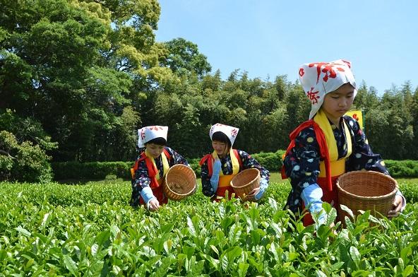 DSC_0610茶摘み