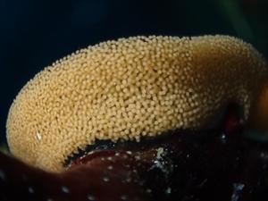 ウミウシの卵_R