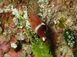 タキベラ幼魚4_R