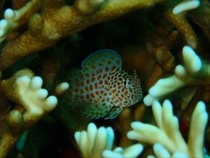 セダカギンポ幼魚