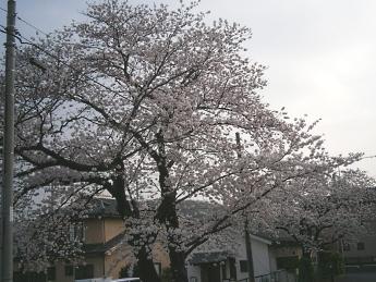 2015-4-1桜