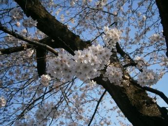 2015-4-1桜2