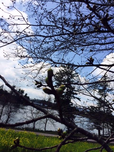 フラワーセンター桜のつぼみ