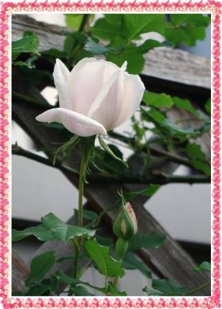rose427 018