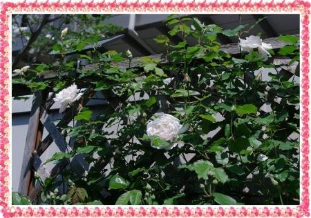 rose427 019