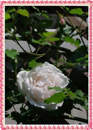rose427 023