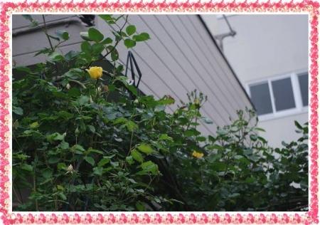 rose430 006