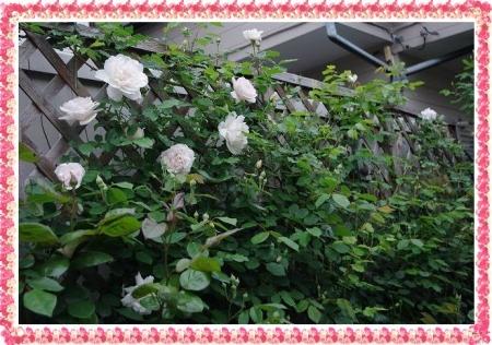 rose430 007