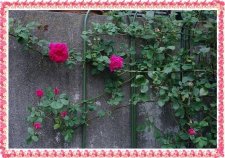 rose430 010