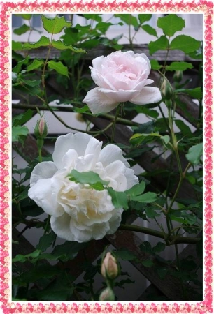 rose430 016
