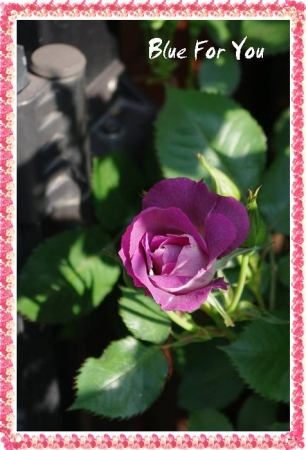 rose501 008