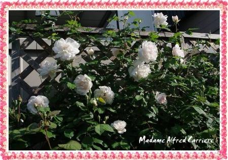 rose501 011
