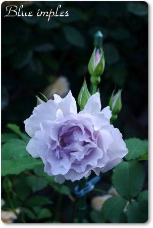 rose514 015