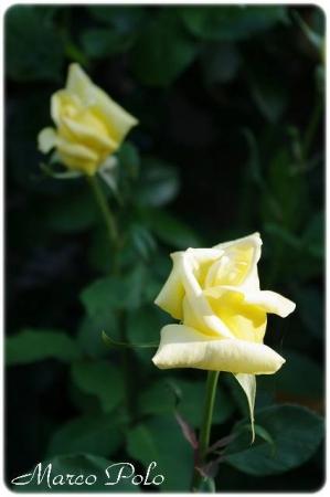 rose514 019