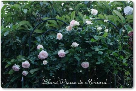rose514 028
