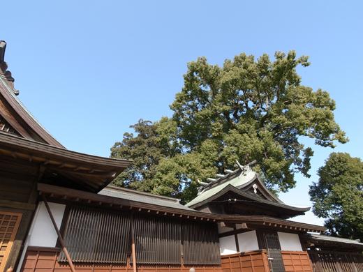 150226_05日吉神社の楠