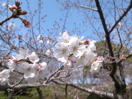 150325_02桜