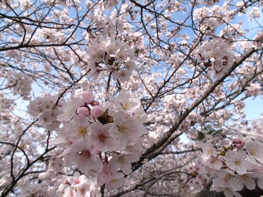 150328_11桜up