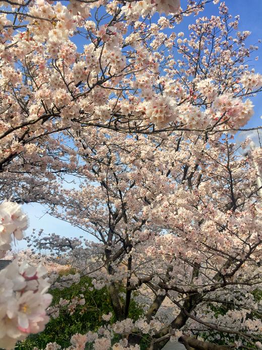 150328_13桜iphone