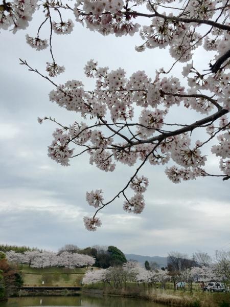 150331_05遠くにも桜