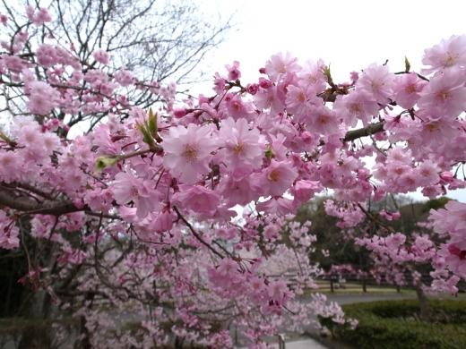 150331_02八重桜