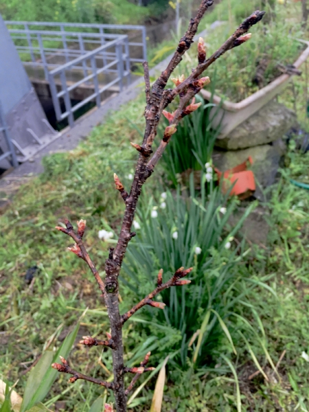150401_01裏の桜