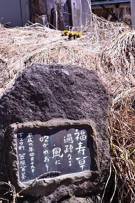 諏訪市 板沢の福寿草20140315 (5)