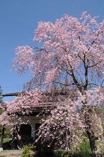 原村郷土資料館の桜 (6)