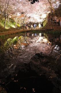 高遠城址公園の桜 20140418(10)