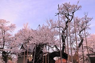 実相寺 神代桜 (4)