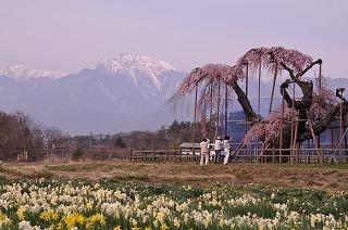 神田の大糸桜 2014(2)