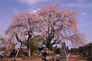 田端の枝垂れ桜 (2)