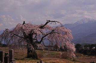 富士見町 葛窪の枝垂れ桜 (1)