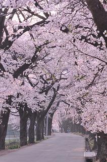 北杜市 眞原の桜並木 (9)