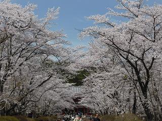 蓼科山 聖光寺の桜 (1)