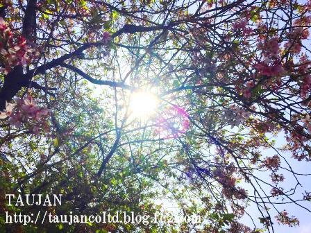 2015 TAUJAN 4/14 葉桜
