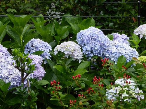 紫陽花 とヒペリカム