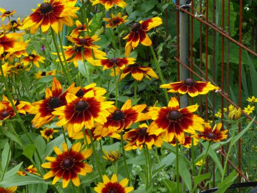 ルドベキア 元気な花です。