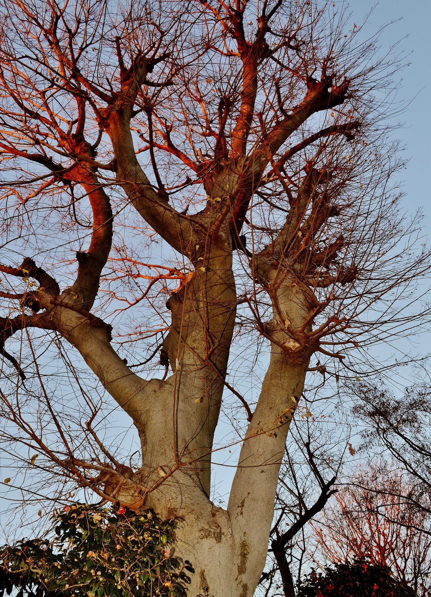 ❁《観音堂》前の夕陽浴びる巨木のケヤキ
