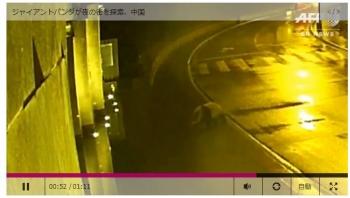newsジャイアントパンダが夜の街を探索、中国1